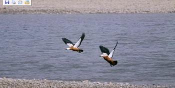 Wild Duck in Lhasa River